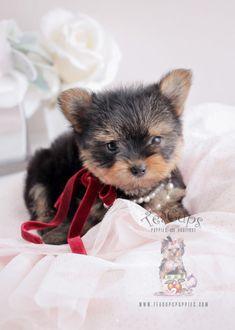Adorable Toy Yorkie Puppy #yorkie #puppy #puppies #yorkshireterrier