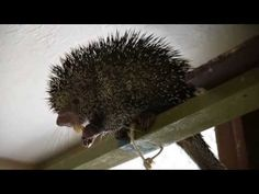 Adorable Porcupine Eats A Banana, Philosophizes About Life