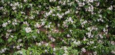 Landscaping And Outdoor Building , The Best Climbing Plant For Shade : Star Jasmine Best Climbing Plant For Shade