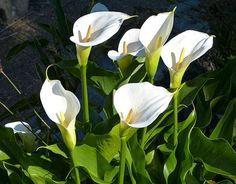 The Calla which grows along the road side in areas with enough water. In Cape Town, South Africa you can see these in a lot of places and along the roadside