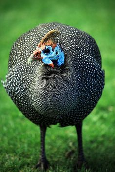 future garden buddy for keeping pests out of my veggies!future garden buddy for keeping pests out of my veggies! Farm Animals, Animals And Pets, Guinea Fowl, Hens And Chicks, Game Birds, Chicken Breeds, Beautiful Birds, Beautiful Swan, Exotic Birds