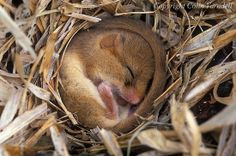 Sleeping Kangaroo Rat