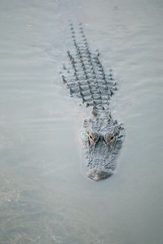 Alligator. Wouldn't you hate to be in that water! 