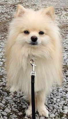 Blondie - 5.5 lbs is an adoptable Pomeranian Dog in Joliet, IL Pinned from petfinder.com