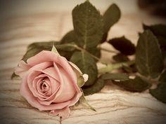Images and videos of flores Images Vintage, Vintage Love, Orange Roses, Purple Roses, Purple Rain, Pink Rose Flower, My Flower, Beautiful Roses, Beautiful Flowers