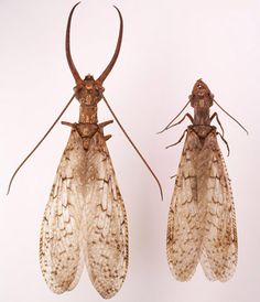 Male and female Eastern Dobsonflies, Corydalus cornutus (Linnaeus), showing differences in mandibles and antennae. Photograph by Lyle J. Buss, University of Florida. Aquatic Insects, Linnaeus, Mini Monster, Flying Insects, Monarch Butterfly, Creature Design, Beautiful Creatures, Bugs, Insects