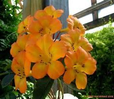 Image result for vireya rhododendron