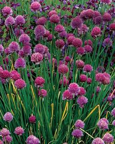 10 Perennials Easily Grown from Seed | Fine Gardening Name:   Allium spp. and cvs.  USDA Hardiness Zones: 3 to 11  Size: 4 to 60 inches tall  Conditions: Full sun; fertile, well-drained soil  Among dozens of showy cousins, densely flowering chive ( A. schoenoprasum , Zones 5–11, right) and our jaunty native nodding onion ( A. cernuum , Zones 4–8) are superb subjects to grow from seed.  Read more: http://www.finegardening.com/10-perennials-easily-grown-seed#ixzz3VdSyoVVE  Follow us…