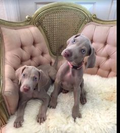 Animals And Pets, Baby Animals, Cute Animals, I Love Dogs, Cute Dogs, Great Dane Rescue, Weimaraner Puppies, Pet Style, Puppies And Kitties