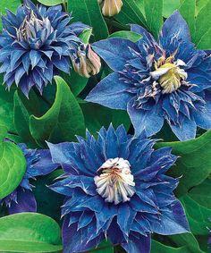 Look at this Blue Clematis Plant - Set of Two on #zulily today!