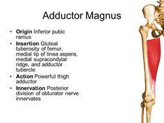 adductor magnus origin and insertion - Google Search