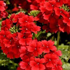 I. Red verbena in garden plan 2
