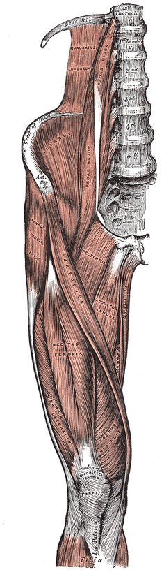 Illustrations. Fig. 430. Gray, Henry. 1918. Anatomy of the Human Body.