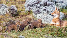 llbwwb:  Four Tiny Wolf Pups by Will Burrard-Lucas