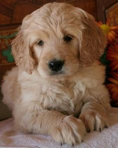 Goldendoodle puppy.  SO cute!
