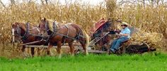 An Amish farmer uses horses to collect cornstalks from the field in Pulaski, Pa.