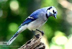 Blue-jay./ by thenyveethy. Please Like http://fb.me/go4photos and Follow @go4fotos Thank You. :-)