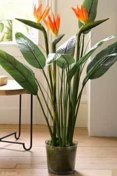 Ready to bring the outdoors in with a bird of paradie plant like this and liven up your home with low maintenance house plants? Greenery and house plants will never go out of style, but tropical house plants in particular are having a moment and oh so trendy. If you don't want a high maintenance fiddle leaf fig or a monstera but still want a lovely house plant, green, pink, yellow and more, tap to read this blog post. 5 Indoor Houseplant Trends for 2020 | Hadley Court - Interior Design Blog Tropical House Plants, Fiddle Leaf Fig, High Maintenance, Herbs Indoors, Best Interior Design, Shades Of Green, Pink Yellow, Indoor Plants, Greenery
