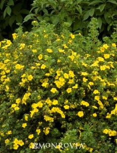 Goldfinger Potentilla - A versatile small shrub producing large rich yellow buttercup-like flowers. Fine textured foliage on a mounding form. Use as a colorful accent in shrub borders. Deciduous.