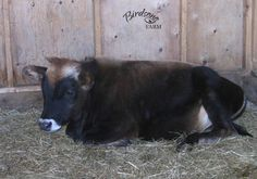 Birdsong Summer Blossom's second calf, Dawson, as a yearling steer.