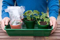 to take cuttings from bedding geraniums Find out how to take cuttings from bedding geraniums, for fresh plants to grow on next year.Find out how to take cuttings from bedding geraniums, for fresh plants to grow on next year. Container Gardening Vegetables, Succulents In Containers, Container Flowers, Container Plants, Vegetable Gardening, Gardening Tips, Growing Geraniums, Growing Plants, Growing Vegetables
