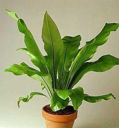 asplenium (windowless bathroom plant)