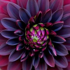 Black dahlia. Simply gorgeous.