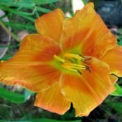 64 Best aDOUBLE AND BROKEN PATTERN/STIPPLED DAYLILIES images