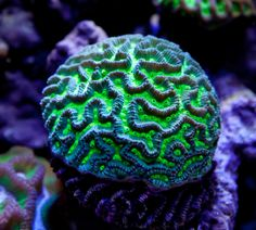 This Brain Worm Coral was photographed at Aquatic Warehouse in San Diego, CA. Its in their main coral reef tank