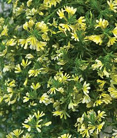 Scaevola, Suntastic Yellow  The first-ever yellow scaevola.  2012 is the year for yellow. Here's the first-ever yellow scaevola, a rare and welcome color for this favorite variety. Explodes into cascades of rich two-tone buttery yellow and lime blooms. The most popular plant for containers, scaevola supply volume and a wondrous spillover of blooms. Vigorous plants spread out to serve as colorful, alluring groundcover. Heat-loving, disease-free.