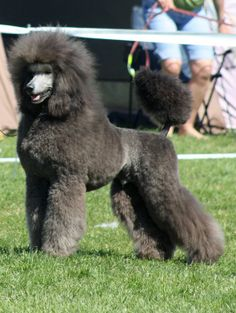 Caniche (172) (Poodle) - Miniature - Grey - France