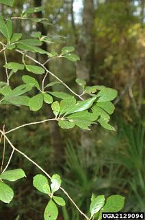 The Swamp Tupelo - sylvatica var. biflora (AKA Swamp Blackgum), is most often found as a small tree but can reach heights of over 80 feet. Sour Fruit, Tupelo Honey, Moving Water, Almost Perfect, Small Trees, Plant Leaves, Seeds, Plants, Plant