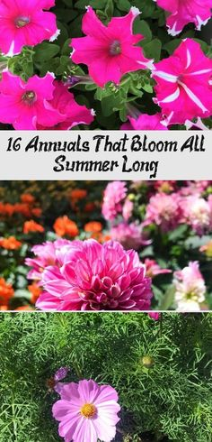 Want colorful blooms in your garden during Summer and Fall? Planting these annuals is the way to go! Check out these annual plants that can bloom throughout the Summer and some even into Fall! Fall Planting, Sun Garden, Replant, Rustic Flowers, Annual Plants, Seed Starting, Zinnias, Gardening For Beginners, Perennials