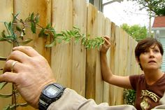How To Plant And Train Vines On A Fence