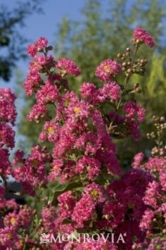 Loropetalum sizzling pink fringe flower nobserv pinterest displays large long lasting clusters of vivid rosy red crepe like flowers handsome foliage has bronzy cast in spring bright green in summer mightylinksfo