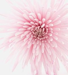 The perfect pink bloom?