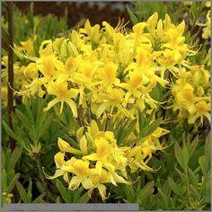Rhododendron luteum - Azalia pontyjska