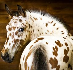 Find images and videos about horse and appaloosa on We Heart It - the app to get lost in what you love. All The Pretty Horses, Beautiful Horses, Animals Beautiful, Cute Animals, Beautiful Eyes, Leopard Appaloosa, Appaloosa Horses, Breyer Horses, Horse Photos