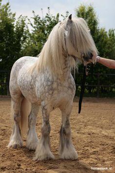 #HORSES   Irish Cobb / Gypsy Vanner