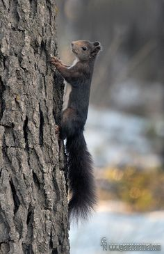 Sciurus vulgaris - Ardilla roja Fauna, Nature, Animals, Red Squirrel, Squirrels, Naturaleza, Animales, Animaux, Animal