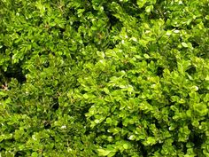 Green Gem Boxwood (75cm diameter) A very attractive, slow growing plant with dark green leaves. A most versatile evergreen for sun or shade. Never grows out of hand. Canadale Nurseries Ltd.