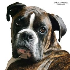 6-year-old Male Reverse Brindle Boxer  http://www.dancornfordphotography.com/animals/  #boxer #dog #brindle #pet