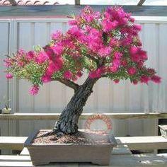 tohumu bonsai 944   Callistemon tohumu fırça çalısı eflatun *962