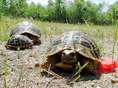 Il y a trois ans, trois tortues étaient volées à Gonfaron. L'une d'entre elles a été retrouvée dans le Cher. Elle prendra ce samedi la route du Var, en covoiturage. http://www.leberry.fr/cher/actualite/pays/cher-nord/2016/07/01/volee-dans-le-var-une-tortue-retrouvee-dans-le-sancerrois-rentre-chez-elle-en-covoiturage_11984737.html