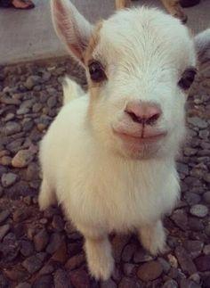 tiny goat..