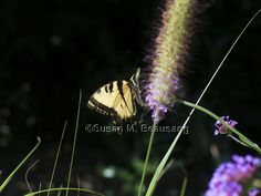 #butterfly sillouette