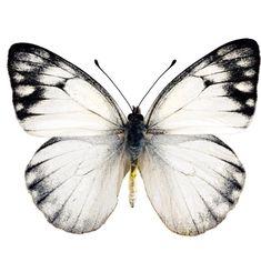 Mariposa en blanco y negro.