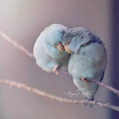 Love Birds When a photographer captures love between her parakeets | Ufunk.net
