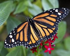 """Huge hibernation ground for the Monarch butterfly in Mexico dubbed """"the Mountain of Butterflies"""". It officially became the Monarch Butterfly Biosphere Reserve in 1980 and was designed a World Heritage site in 2008."""