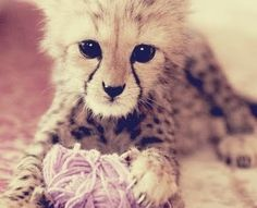 Even cheetah babies like to play with yarn. #bigcats @Nida Channah